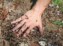 Schätzchen \ 's-Hand umfaßt mit gezackten Ameisen Stockfoto