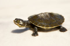 Schätzchen-Schildkröte Stockbilder