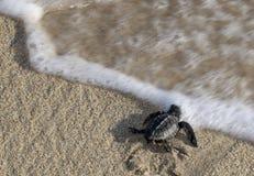 Schätzchen-Schildkröte, die das Wasser erreicht Stockfotos