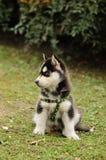 Schätzchen-Schlittenhund Lizenzfreie Stockbilder