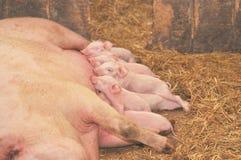 Schätzchen-Schweine, die mit Mutter speisen Stockbild