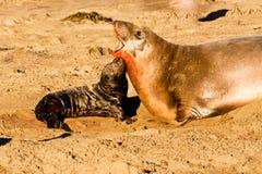 Schätzchen-Seeelefant Lizenzfreies Stockbild