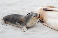 Schätzchen-Seelöwe lizenzfreie stockfotografie