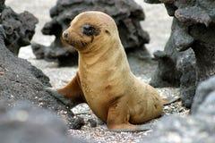 Schätzchen-Seelöwe Lizenzfreie Stockbilder