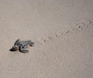 Schätzchen-Seeschildkröte Lizenzfreie Stockfotografie