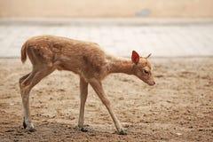Schätzchen sika Rotwild Stockfoto