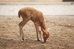 Schätzchen sika Rotwild Stockfotografie
