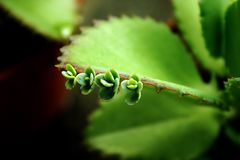 Schätzchen Succulents Lizenzfreie Stockfotos