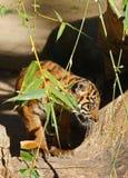 Schätzchen-Tiger Stockfotografie