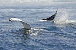 Schätzchen- und Mutterwal Stockbild