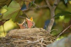 Schätzchen-Vögel, die schauen, um zu essen Lizenzfreie Stockfotos