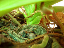 Schätzchen-Vögel in einem Nest Lizenzfreie Stockfotografie