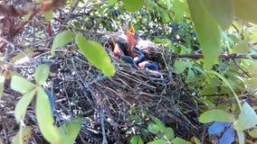 Schätzchen-Vögel im Nest stock footage
