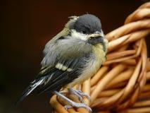 Schätzchen-Vogel Lizenzfreies Stockfoto