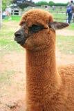 Schätzchen von Lama Stockbilder
