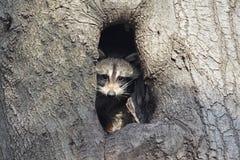 Schätzchen-Waschbär in einem Baum stockbild