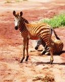 Schätzchen Zebra Stockfotografie