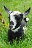 Schätzchen-Ziege stockfotografie