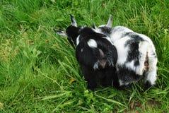 Schätzchen-Ziegen stockfotos