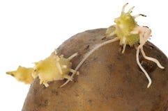 Schätzchenanlage. Kartoffel Stockbild