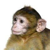 SchätzchenBarbaryMacaque - Macaca Lizenzfreie Stockbilder