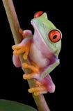 Schätzchenbaumfrosch auf Stamm Stockfotos