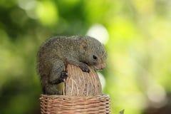 Schätzcheneichhörnchen auf großer Erdnuss Stockfoto