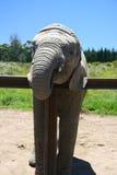 Schätzchenelefant Lizenzfreies Stockfoto