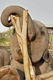 Schätzchenelefant Stockbild