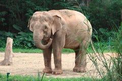 Schätzchenelefant Stockbilder