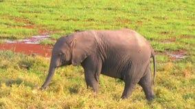 Schätzchenelefant, der Gras isst stock video