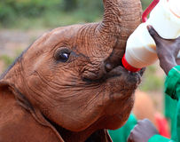 Schätzchenelefant, der von einer Flasche Milch speist Lizenzfreies Stockfoto