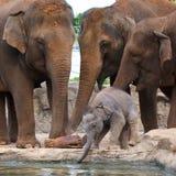 Schätzchenelefant mit Erwachsenen Stockfotos