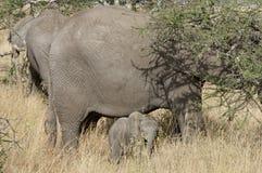 Schätzchenelefant und -mutter Lizenzfreie Stockbilder