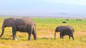 Schätzchenelefant und -mutter stock footage