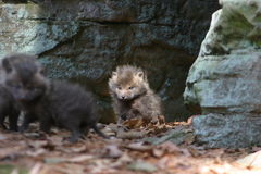 Schätzchenfuchs infront der Höhle Lizenzfreie Stockfotografie