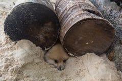 Schätzchengraslandhund, der aus seinem Bau heraus schaut Stockfoto