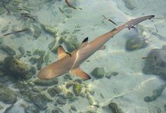 Schätzchenhaifisch lizenzfreie stockbilder