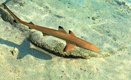 Schätzchenhaifisch Lizenzfreie Stockfotos
