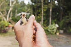 Schätzchenküken in den Händen Lizenzfreie Stockfotografie