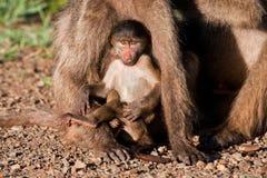 Schätzchenpavian, der mit Mutter spielt Stockfotografie
