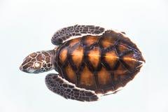 Schätzchenschildkröte Lizenzfreie Stockfotografie
