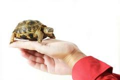 Schätzchenschildkröte in einer Hand Lizenzfreie Stockfotografie