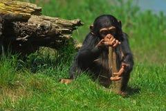Schätzchenschimpanse, der mit Sand spielt Stockbilder