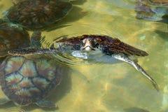 Schätzchenseeschildkröte, die aus dem Wasser heraus schaut Stockbilder