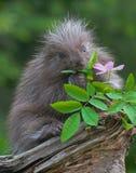 Schätzchenstachelschwein Lizenzfreie Stockbilder