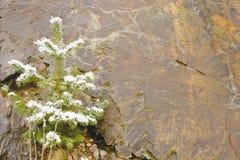 Schätzchentannenbaum, der in einer Wand des Schiefers wächst Stockfotografie