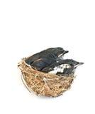 Schätzchenvögel im Nest. Lizenzfreie Stockfotos