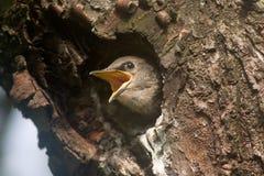 Schätzchenvogel Lizenzfreies Stockfoto