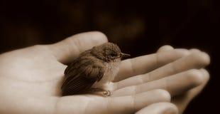 Schätzchenvogel in der Hand (Schwarzweiss) Lizenzfreie Stockbilder